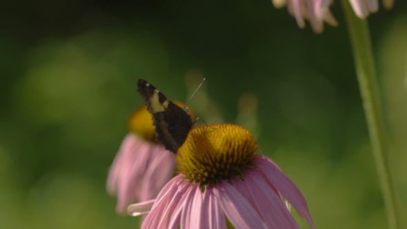 Cover Image for Buterfly On a Echinacea Flower