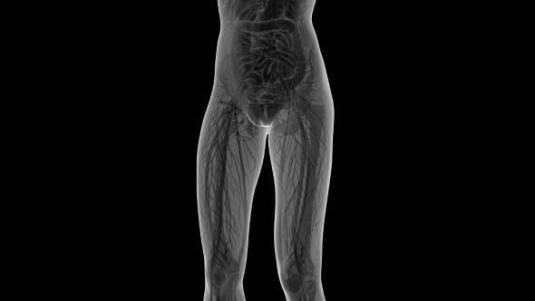 Human Body With Visible Organs