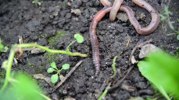 Thumbnail for The Earthworms Lie On Ground