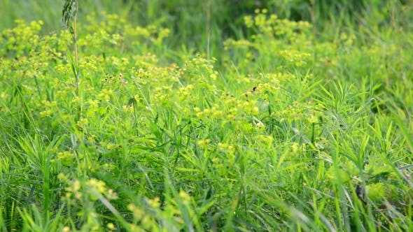 Thumbnail for Grass Meadow With Wild Bees, Russia