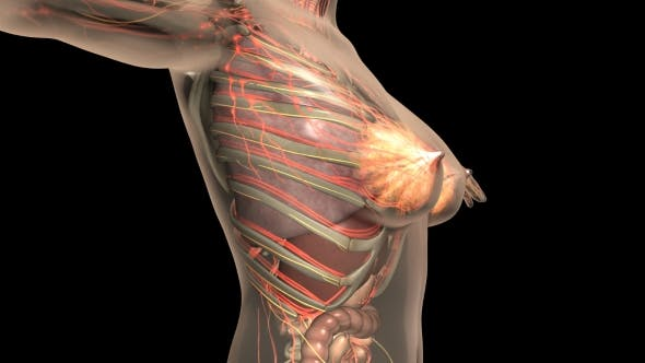 Thumbnail for Human Body With Visible Organs