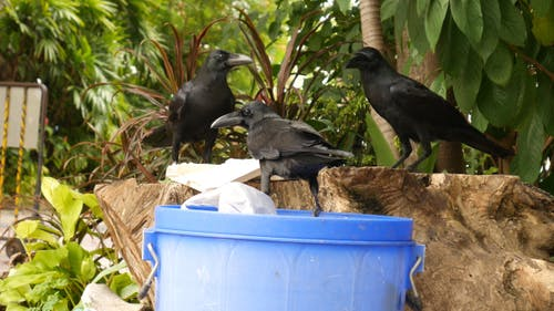 Crows with Litter Bin