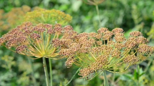 Umbrellas Of Fennel With Seeds In August