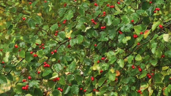 Thumbnail for Hawthorn Berries In The Garden.