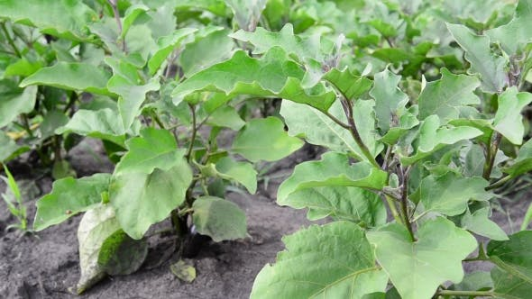 Thumbnail for Leaves Of Eggplant Growing In The Garden