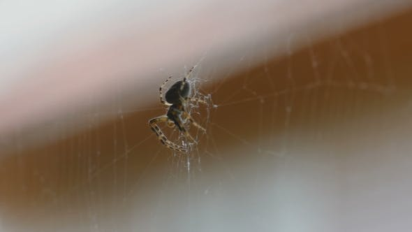 Thumbnail for Spider On The Web, Eats Prey