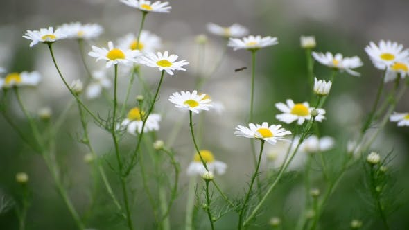 Thumbnail for Chamomile Swaying in Light Breeze
