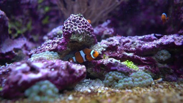 Cover Image for Anemonefish