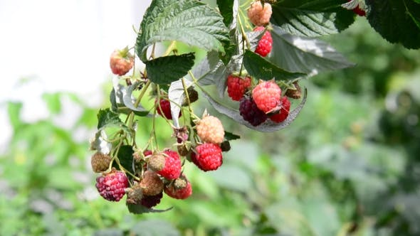 Thumbnail for Ripe Raspberries On The Branch