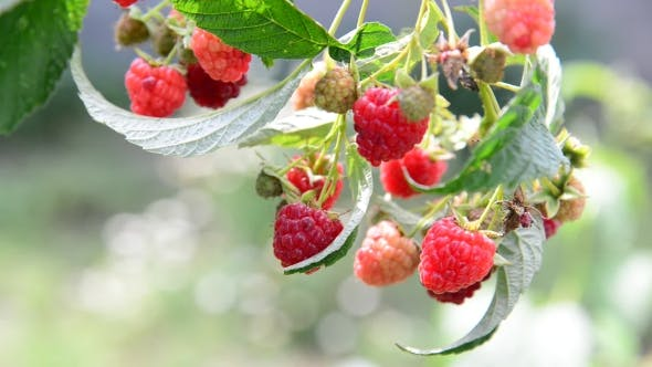 Thumbnail for Lot Of Ripe Raspberries On The Branch
