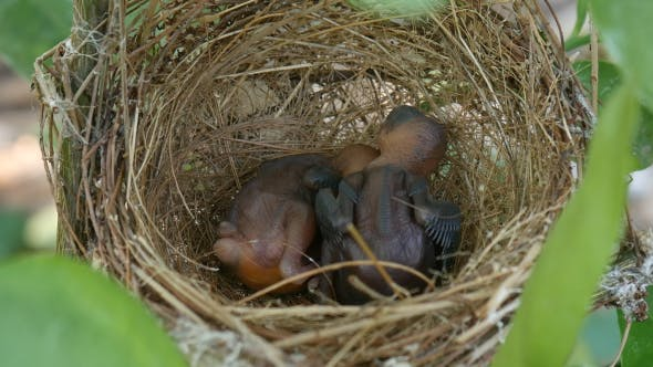 Thumbnail for Baby Bird Sleep in Nest