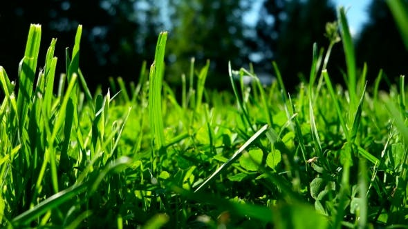 Thumbnail for Green Grass on Trimmed Lawn