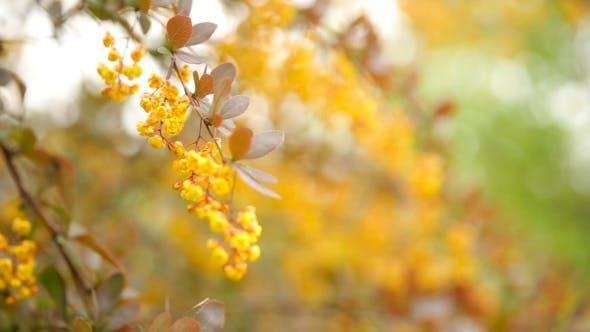 Thumbnail for Blooming Berberis Ottawensis