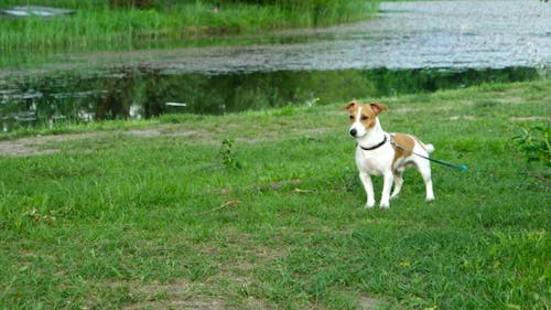 Dog Breed Jack Russell Terrier On a Leash