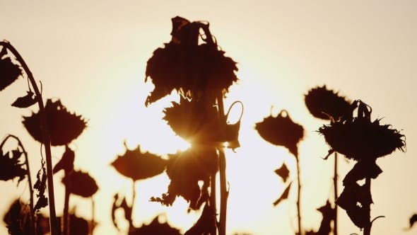 Thumbnail for The Sun's Rays Shine Through The Stalks Of Ripe Sunflower. At Sunset, Sunflower Already Ripe
