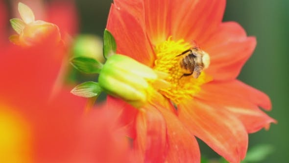 Thumbnail for Bumblebee On Dahlia Flower