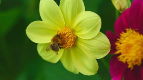 Bumblebee On Dahlia Flower