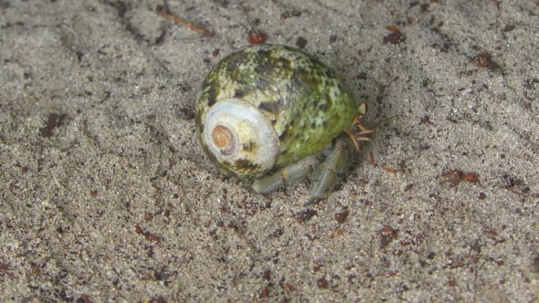 Thumbnail for Hermit Crab Crawling On The Sand