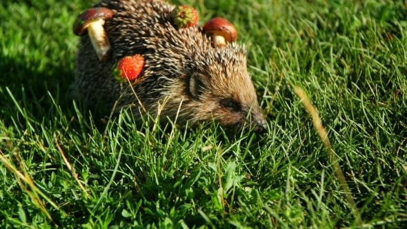 Thumbnail for Hedgehog In The Autumn Forest Curled