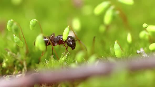 Thumbnail for Ant Close-up in the Wild.