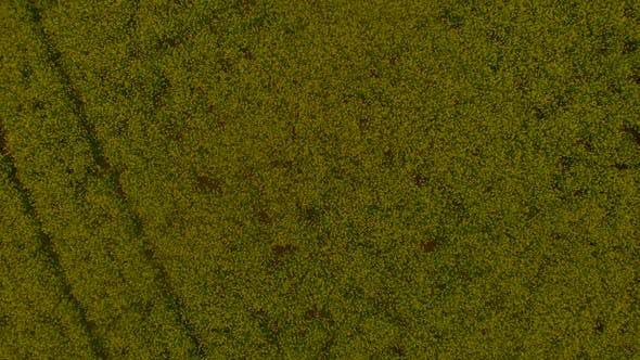 Yellow Canola Field Aerial Drone View, Rapeseed Blossom Field with Strips of Bright Yellow Rape