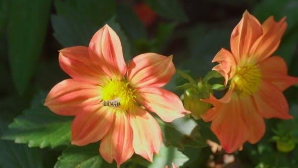 Thumbnail for Fly On Dahlia Flower,