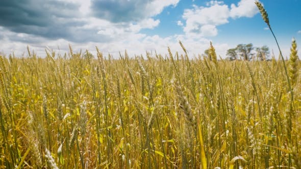 Thumbnail for Golden Wheat Field At a Beautiful Day