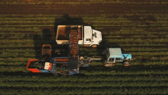 Thumbnail for Carrot Harvesting At The Farmer's field.Aerial View.