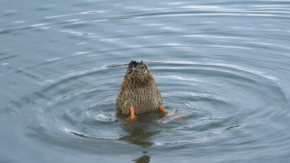 Thumbnail for Footage Duck Swimming On The Lake In Park