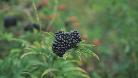 Twig Of Wild Blackberries