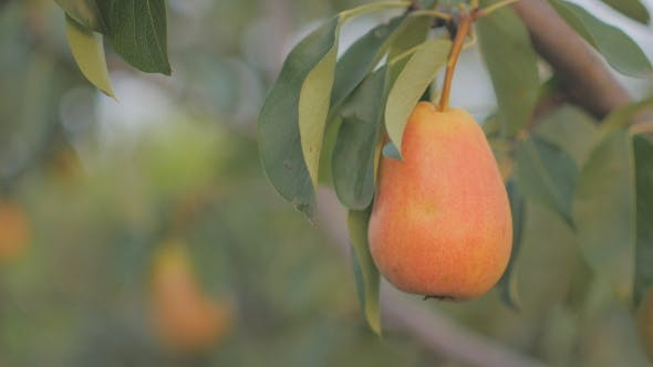 Thumbnail for Ripe Pear Hangs on a Tree in the Garden