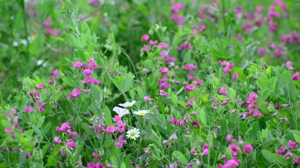 Thumbnail for Fragment Of Beautiful Meadow With Wild Flowers, Russia