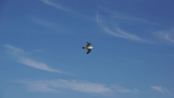 Thumbnail for Seagull Soaring In The Blue Sky