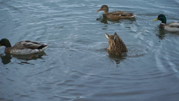 Cover Image for Footage Duck Swimming On The Lake In Park.