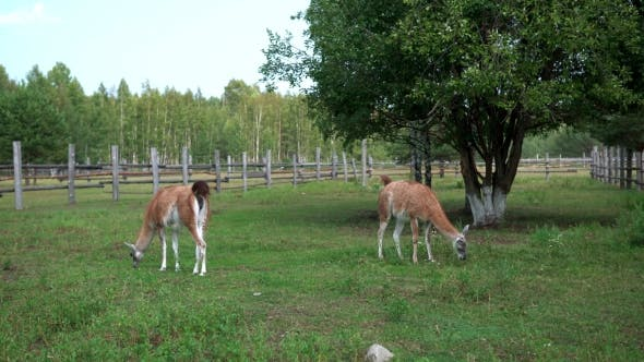 Thumbnail for Lamas Walking In The Zoo