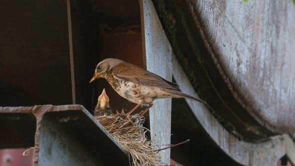 Cover Image for Female Fieldfare On The Nest