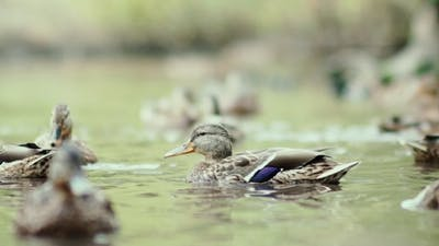 Ducks On The Lake. Ducks Swimming In The Pond. Ducks On The Water