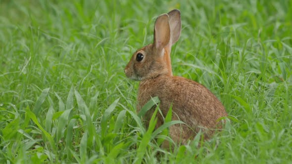 Thumbnail for Wild Bunny Rabbit Watching