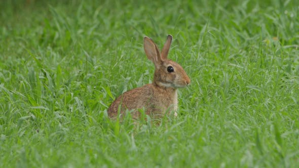 Thumbnail for Wild Bunny Rabbit Eating Grass