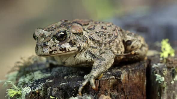 Western Toad on stump