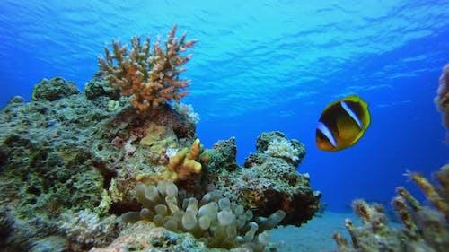 Tropical Fish Clownfish