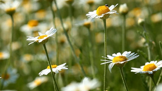 Thumbnail for Camomile Flowers
