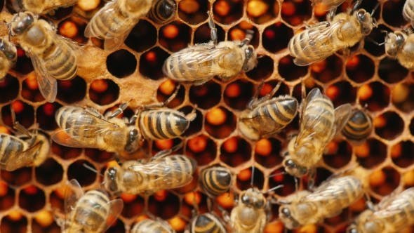 Thumbnail for Bees Work On Cells With Honey