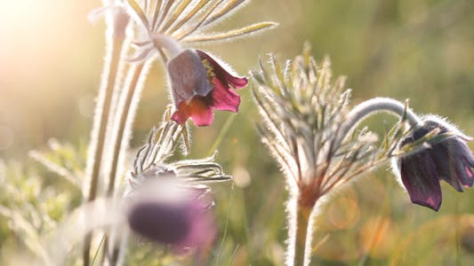 Flowers Pulsatilla Patens