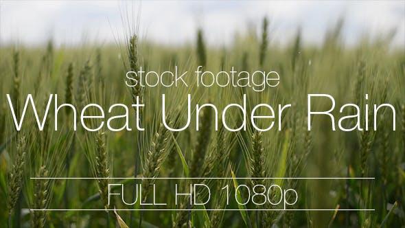 Thumbnail for Wheat Field Under Rain Drops