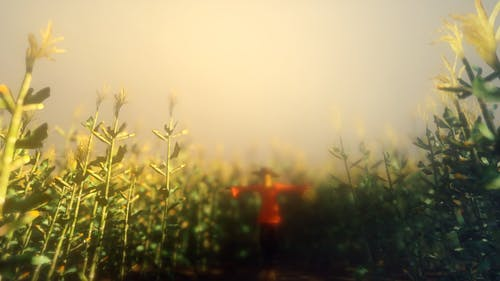 Cornfield And Scarecrow