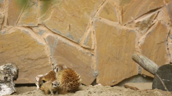 Cover Image for Family Of Meerkat Playing Outdoor