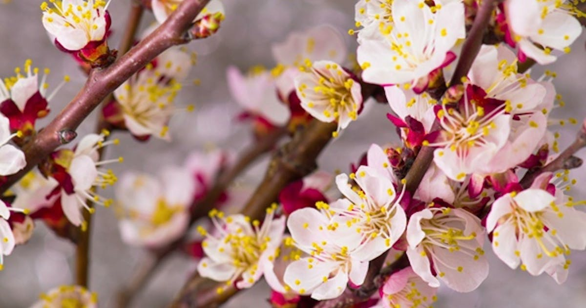 White Cherry Tree Flowers By Nao98 On Envato Elements