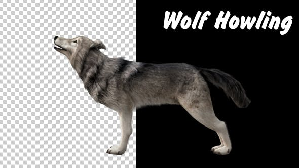 Thumbnail for Realistic 3D Wolf Howling Animation