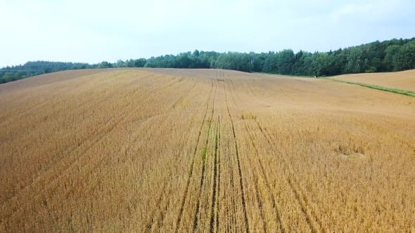 Thumbnail for Ripe Wheat Field View